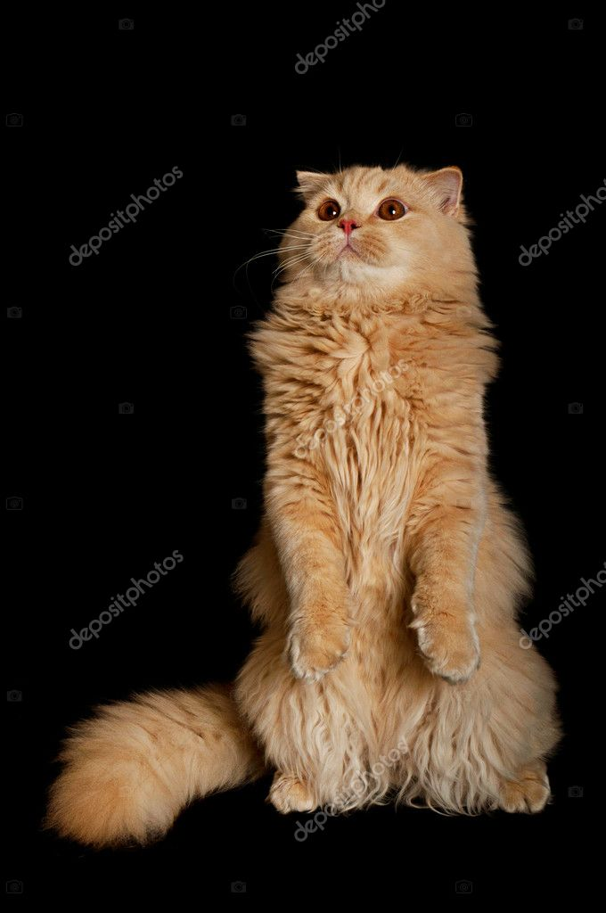 Creamy funny highland scottish six month cat standing up, isolated on black  Stock Photo #6967487