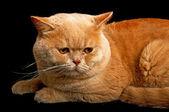 Scottish purebred cat — Stock Photo