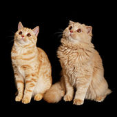 Two scottish cats — Stock Photo