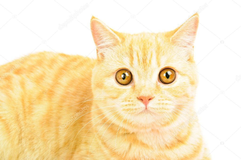 Creamy tabby scottish straight shorthair six monthes cat isolated on white portrait — Stock Photo #7162754