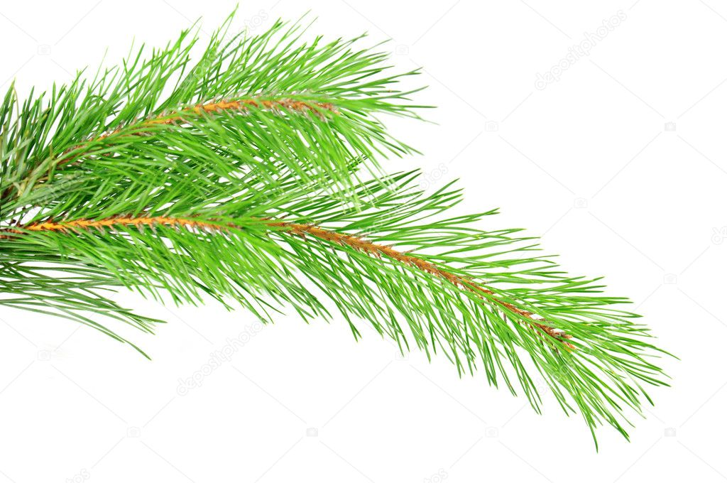 Green pine tree branch isolated on the white  Stock Photo #7827463