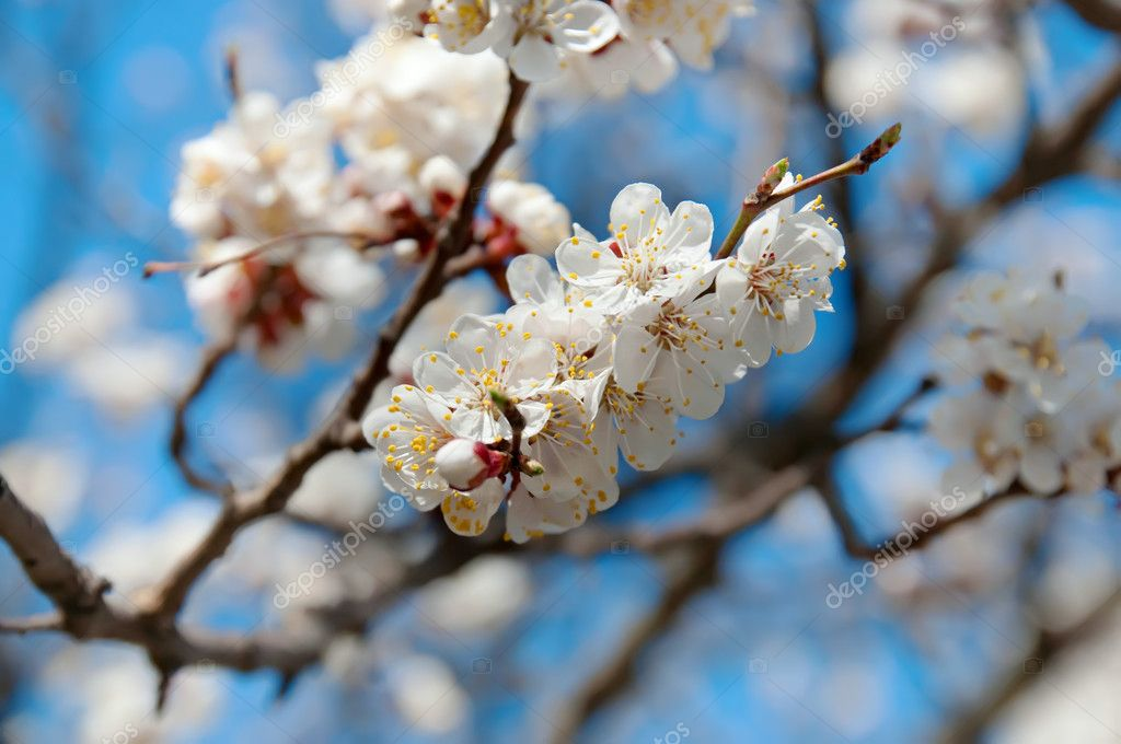 Branch of the apricot tree with white flowers — Stock Photo #7827522