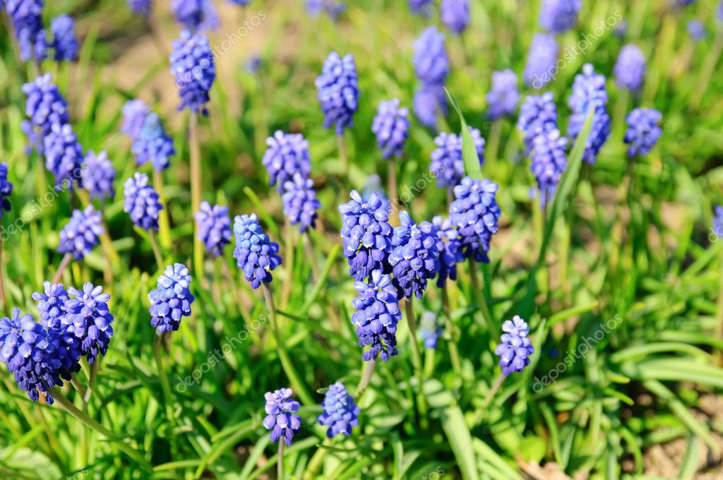 Muscari neglectum flowers in the spring garden  Stock Photo #7827542