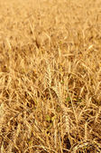 Field with ripe wheat — Stock Photo
