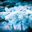 Winter frost on spruce tree close-up . — Stock Photo #7910104