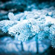 Winter frost on spruce tree close-up . — Stock Photo