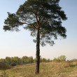 Stock Photo: Lonely pine
