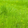 Green grass and dandelions — Stock Photo