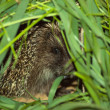 Hedgehog hides in a grass — Stock Photo