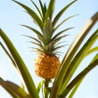 Stock Photo: Pineapple Plant
