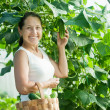 Royalty-Free Stock Photo: Smiling woman picking cucumbers