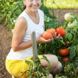 Woman harvesting tomatoes — Foto Stock #6813987