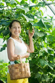 Smiling woman picking cucumbers — Stock Photo