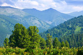 Mountains landscape with cedar forest — Stock Photo