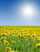 Yellow dandelions under bly sky — Stock Photo