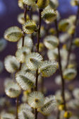 Willow branches in spring — Stock Photo