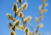 Blossoming spring willow — Stock Photo