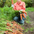 Stock Photo: Womharvesting carrots