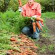 Woman harvesting carrots — Stock Photo