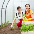 Women planting tomato seedlings - Photo