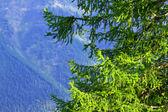 杉木树分支机构 — 图库照片