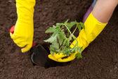 Mani, piantando piantine di pomodoro — Foto Stock
