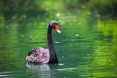 Black swan with a red beak In The Pond — Stock Photo
