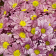 Chrysanthemums — Stock Photo #7417897