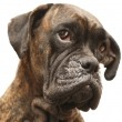 Portrait of the dog of the species boxer - Stock Photo