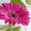 Gerbera — Stock Photo #7603360
