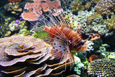 The Red lionfish (Pterois volitans) — Stockfoto