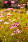 Cosmos flowers — Стоковое фото