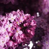 Fioletowy gałąź na białym tle — Zdjęcie stockowe