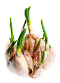 Germinate garlic — Stock Photo