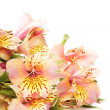 Alstroemeria isolated - Stock Photo
