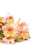 Alstroemeria isolated — Stock Photo