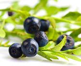 Bilberries — Stock Photo