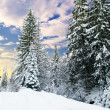 Winter fir-tree forest — Stock Photo