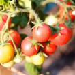 Garden tomatoes ready for picking — Stock Photo