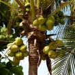 Closeup of tropical coconut — 图库照片