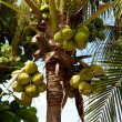 Closeup of tropical coconut — Stok fotoğraf
