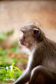 关于泰国丛林猴子 — 图库照片