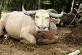 White cattle — Stock Photo