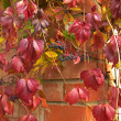 Parthenocissus creeper plant. - Stock Photo