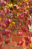 Parthenocissus creeper plant. — Stock Photo