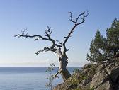 Pino muerto con vistas al mar. — Foto de Stock