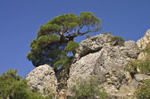 Pine on a rock. — Stock Photo
