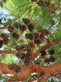 Coniferous tree branch with cones — Stock Photo