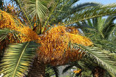 Palm tree with seeds — Stock Photo