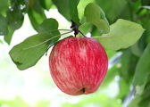 Ljusa goda äpple — Stockfoto
